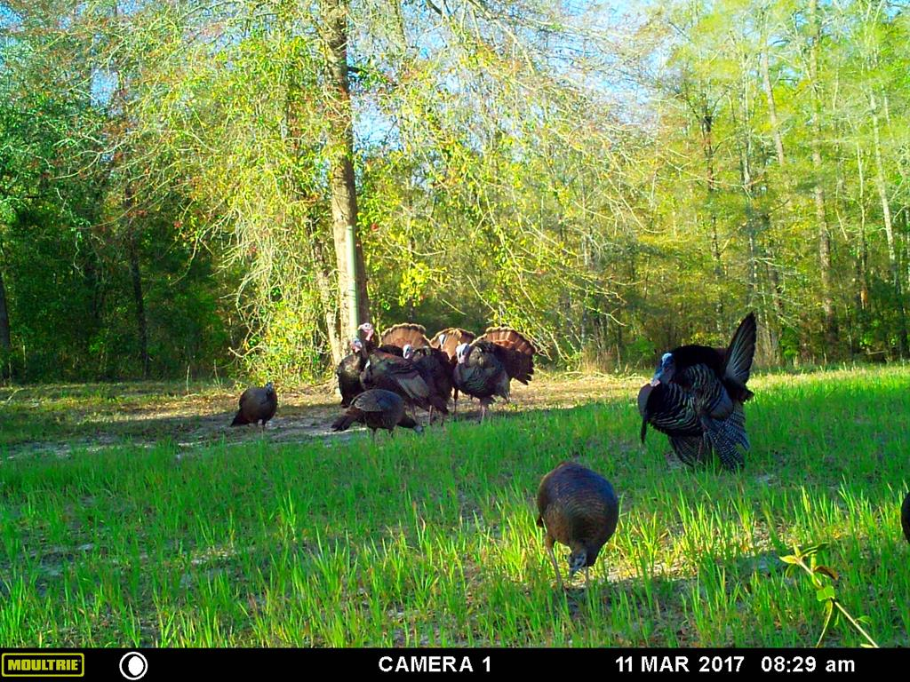 One of the best small acreage wildlife tracts I have seen in over 20 years....(that makes me feel old!) Great documentation on the wildlife!  Lots of photos!  Good Rolling ground.  Good Soil for home sites.  Small Cypress head in NW corner.  Jumped a covey of quail on my first trip out there in the middle of the 18 acres of planted loblolly *2015/2016.  Fast growing trees see the photos!  Property in AG Covenant since 2016 to lower taxes. (You can still build a home on it).  Feed plot areas!  Next to Langdale Property.  Mixed hardwood in the edges.  Some nice older longleaf in the SE Corner of property.   Good cell reception,,,verizon....even though you are pretty much on the GA/FL line.  Tax Map Drawing and State Line Drawing are off.  Property goes to state line....county has it going to Brooks County Line Road.  Lot of good cover for wildlife....check out the game pics!  Only 10 miles from Quitman about 20 dirt road miles from Boston if you go by Grooverville Road and keep on going.